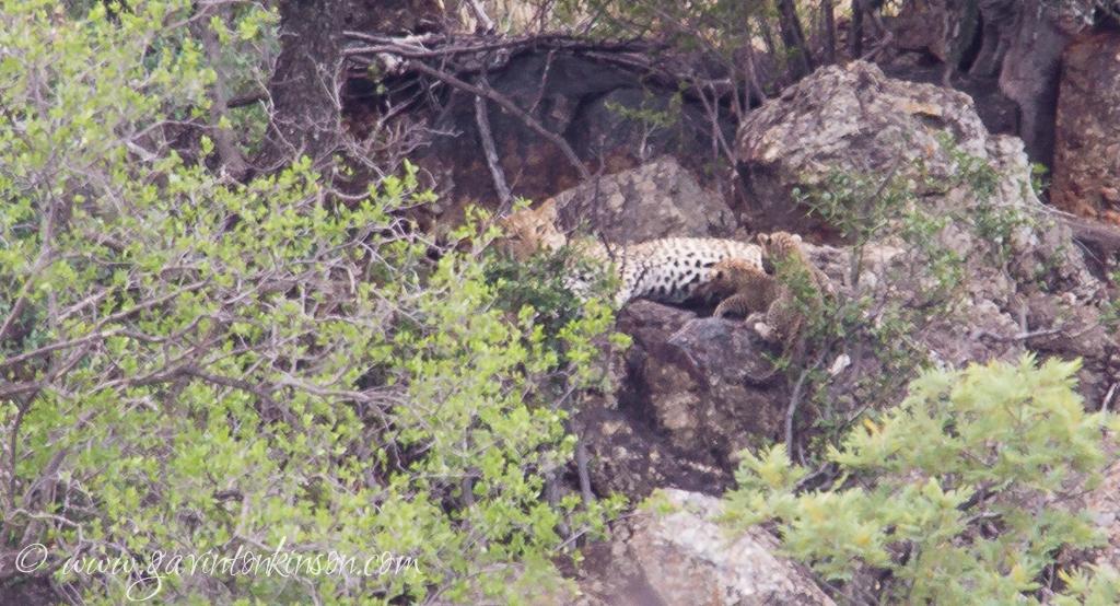Tsala and 2 cubs koppie road 4