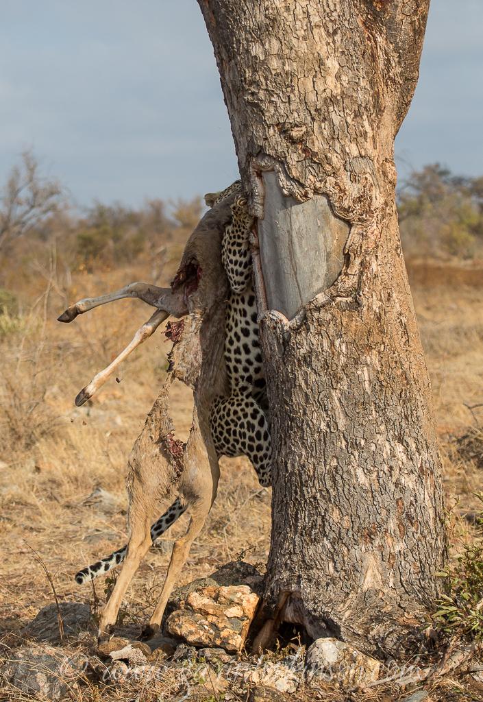 Samson kills kudu 7