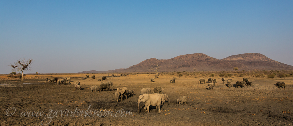 massive herd at tlou dam 1