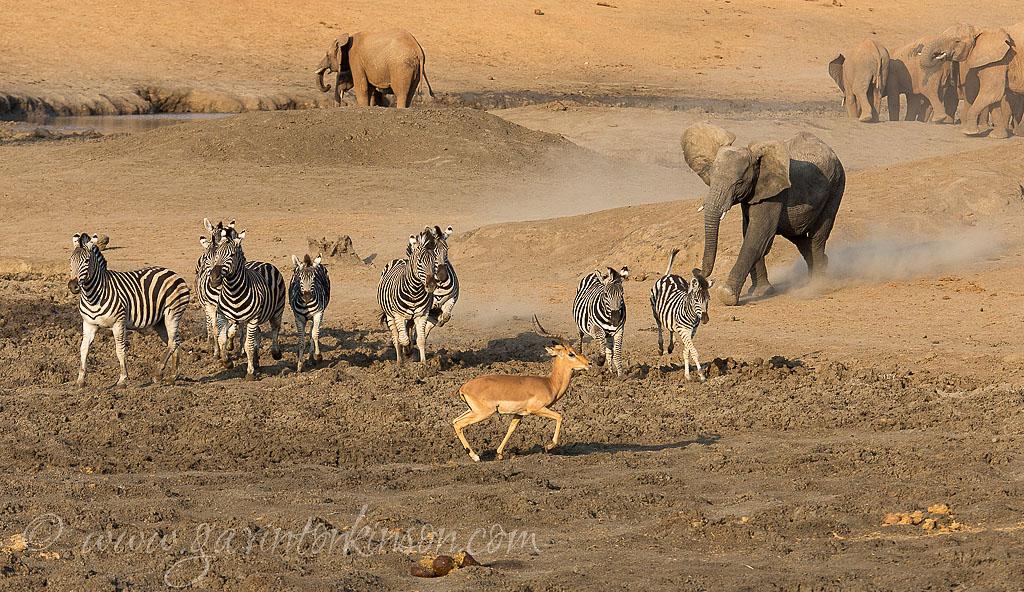 massive herd at tlou dam 6
