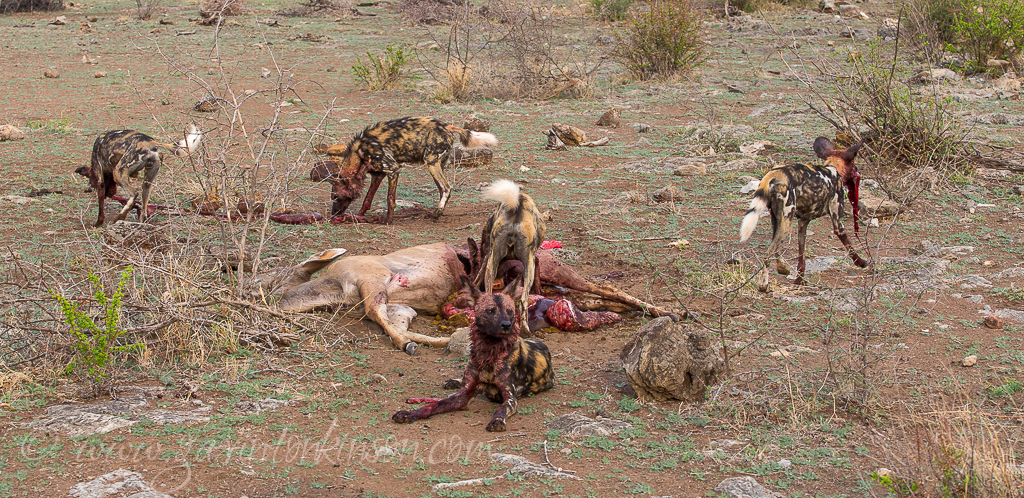 Dogs kill kud at vleis 1