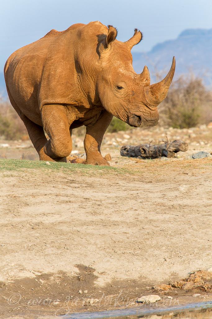 Red Rhino 1