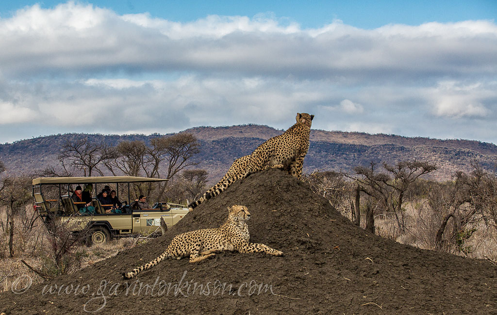 cheetahs on termite mound 2