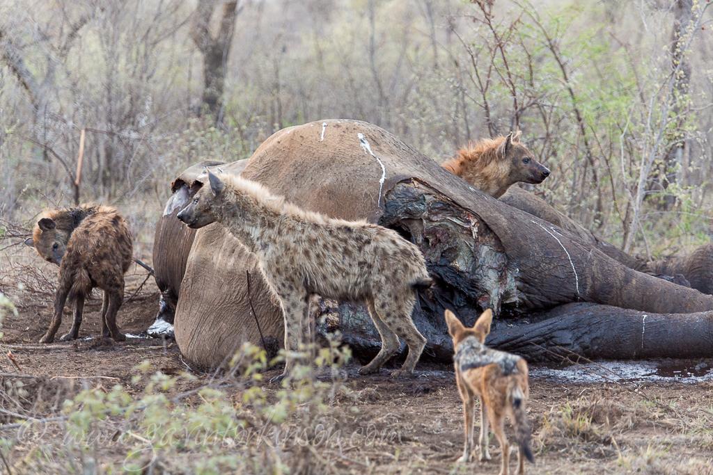 hyena eat ele 1