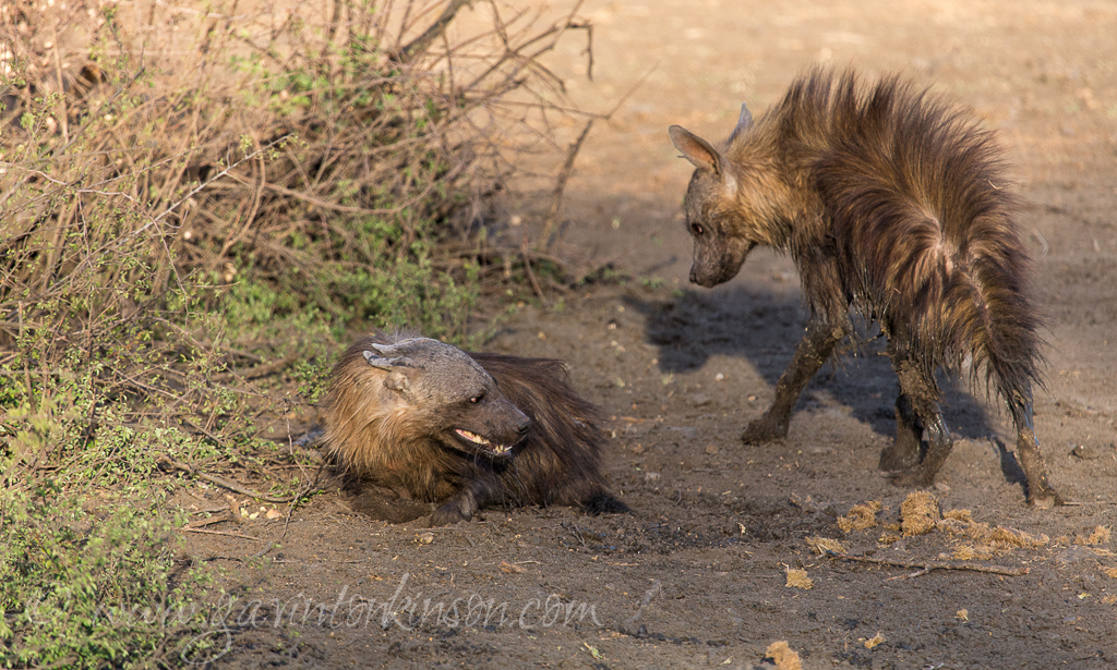 Brown hyenas fight 15