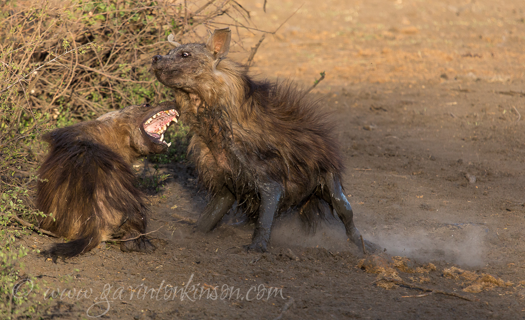 Brown hyenas fight 6