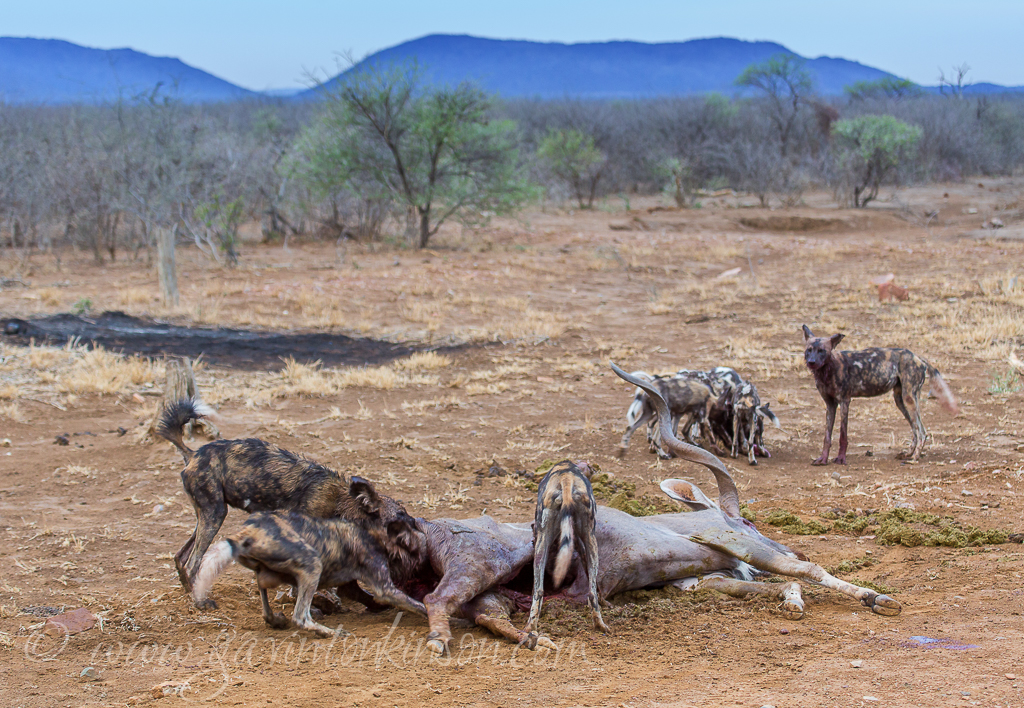 DOGS EAT KUDU AT A5 1
