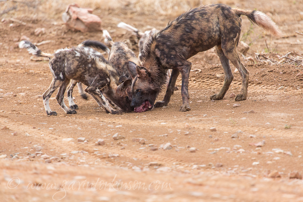 DOGS EAT KUDU AT A5 5