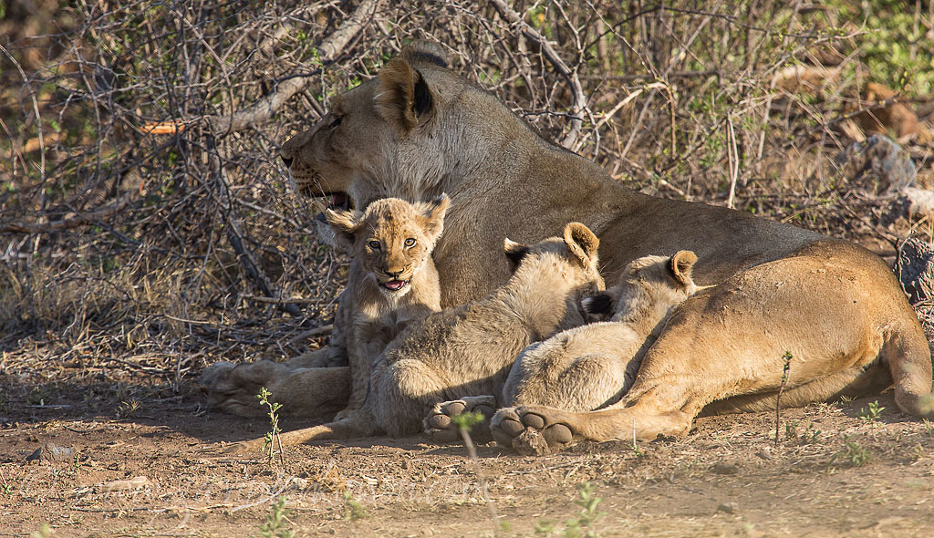 Matlapa and cubs 1
