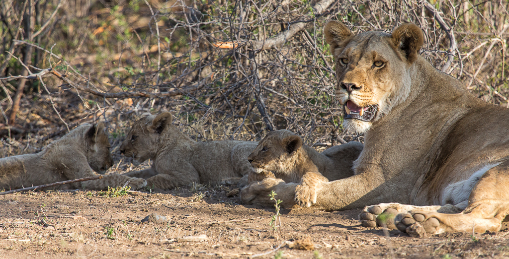 Matlapa and cubs 3