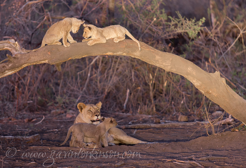matlapa and cubs at waterhole 5
