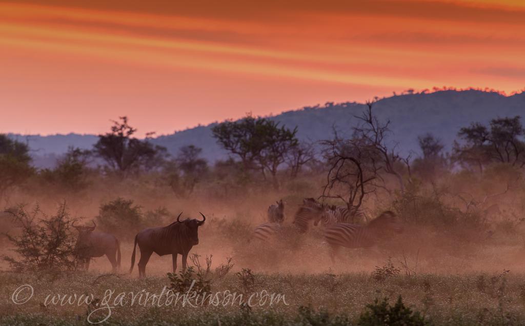 Dusty zebra and wildebeest 1