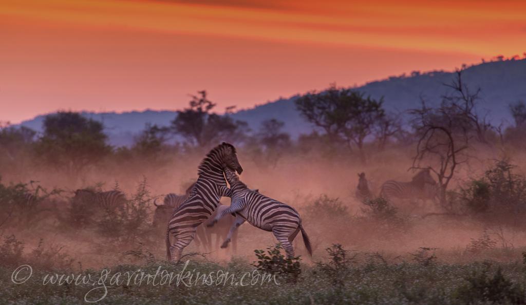 Dusty zebra and wildebeest 2