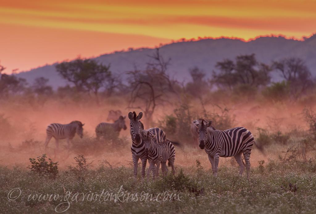 Dusty zebra and wildebeest 3