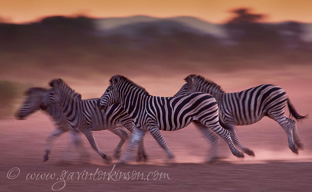 Dusty zebra and wildebeest 4