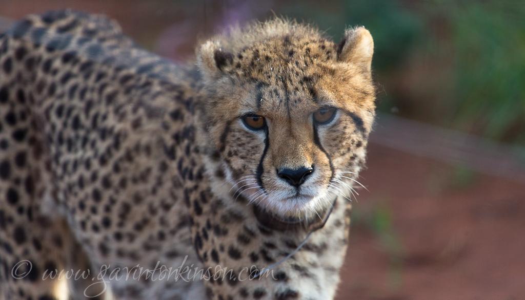 Female Cheetah 2