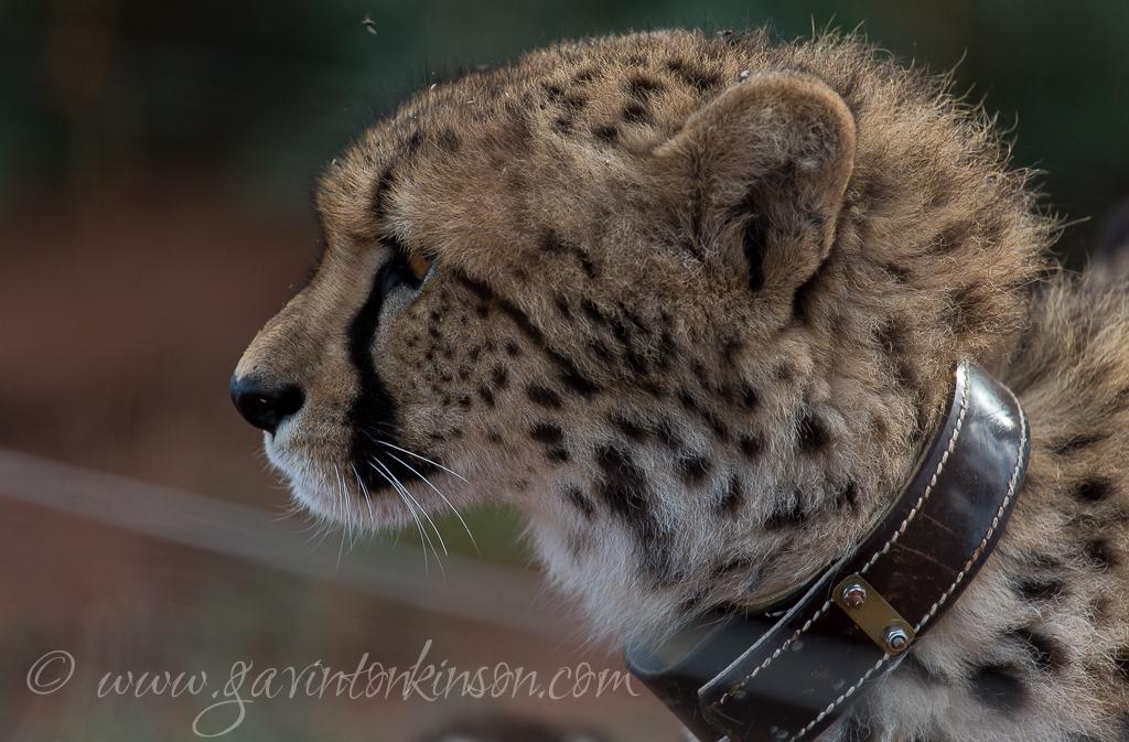 Female Cheetah 3