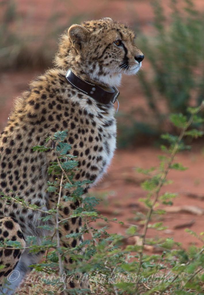 Female Cheetah 4
