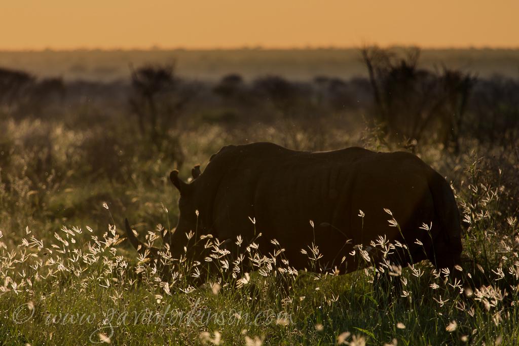 Rhino in grasslands 1