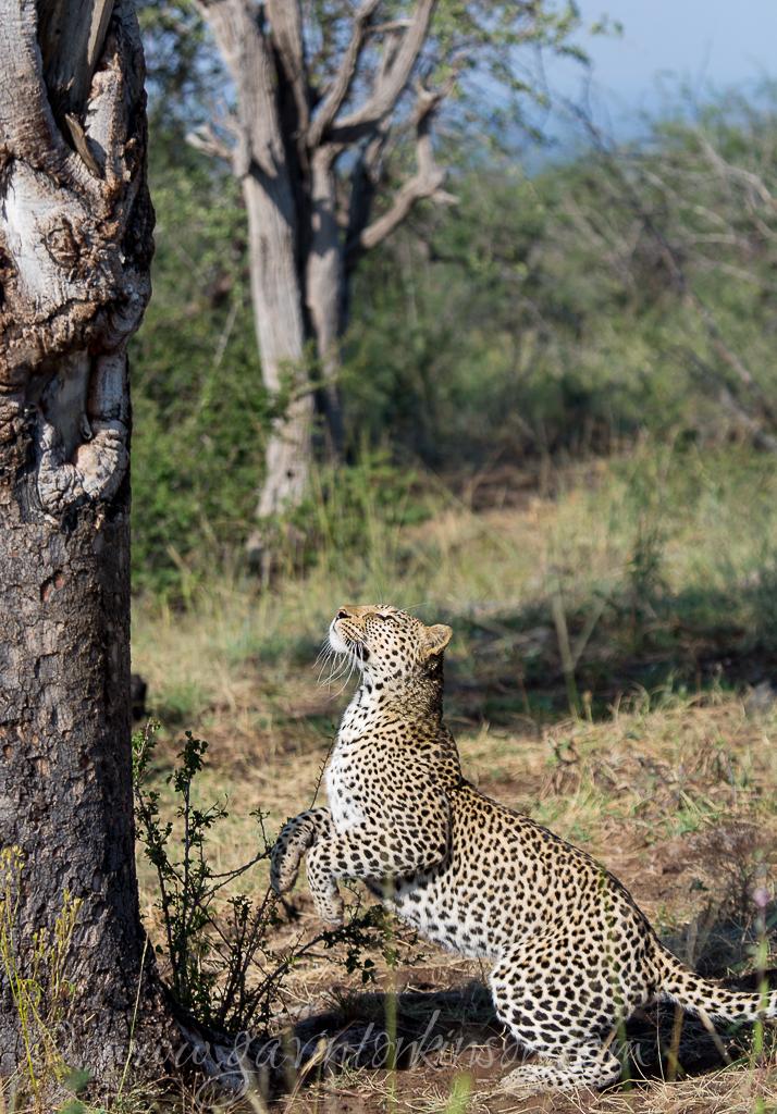 Tsala jumping into tree 1