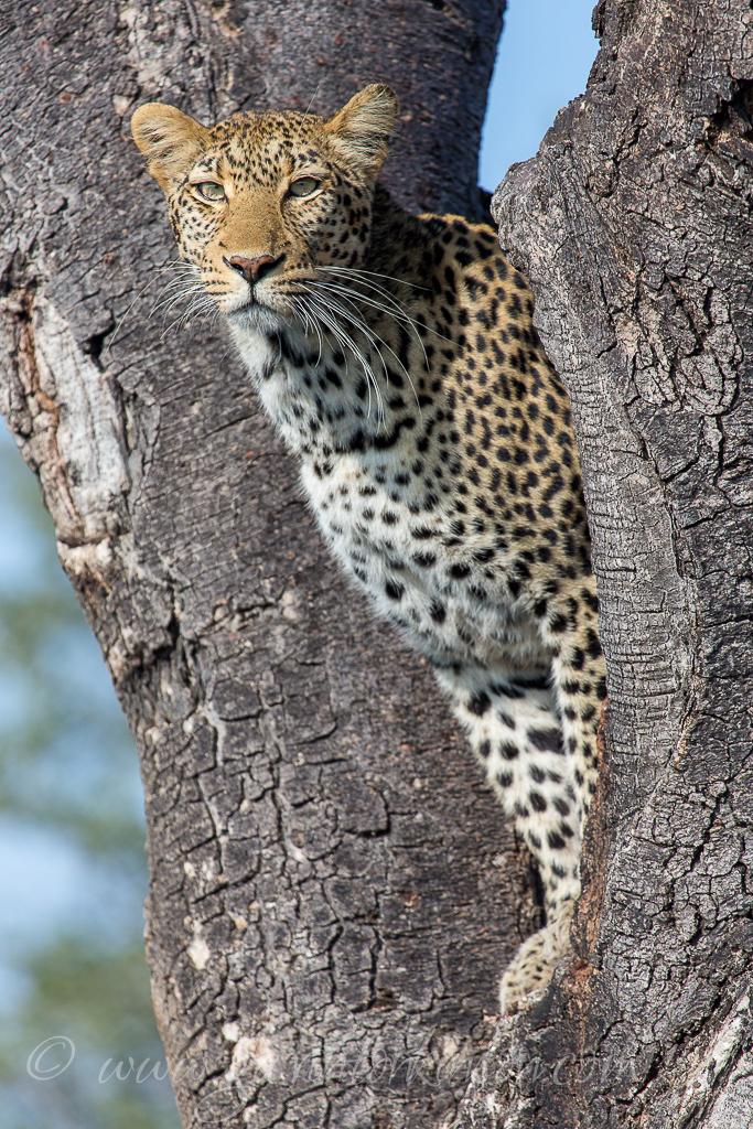 Tsala jumping into tree 4