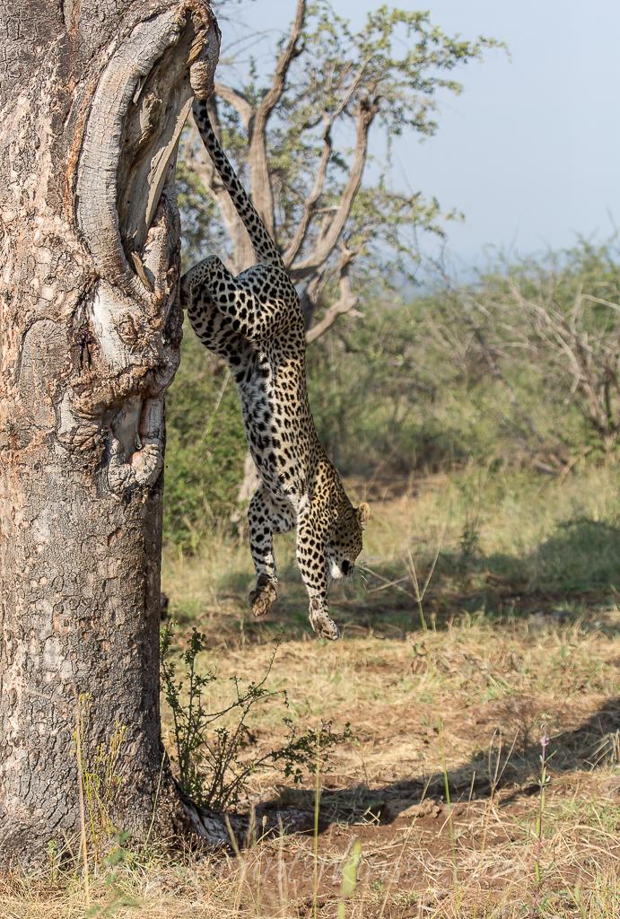 Tsala jumping into tree 8