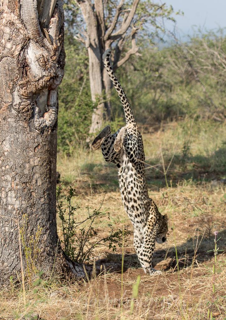 Tsala jumping into tree 9