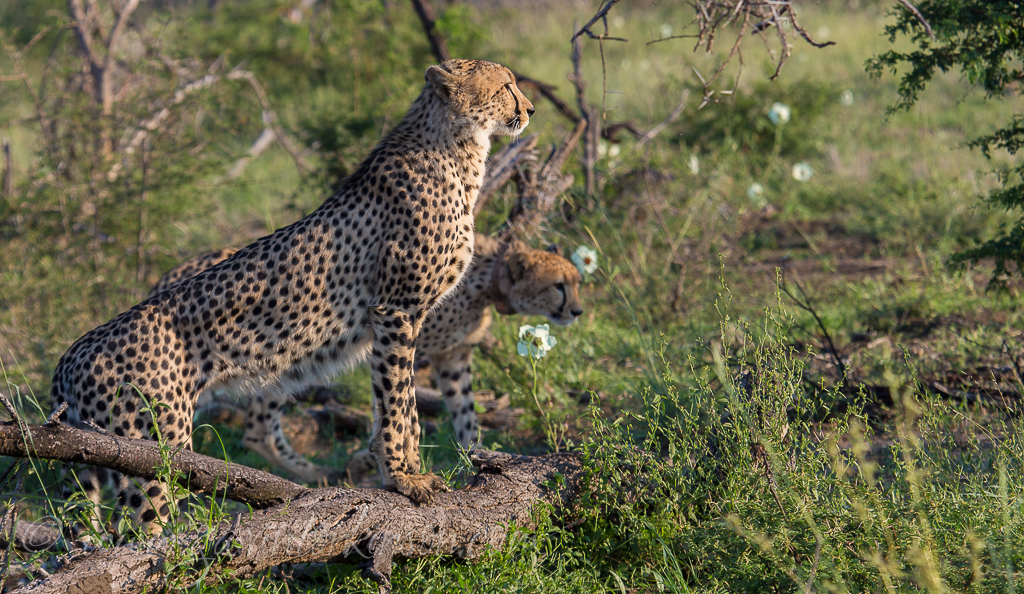 cheetahs kill zebra 1