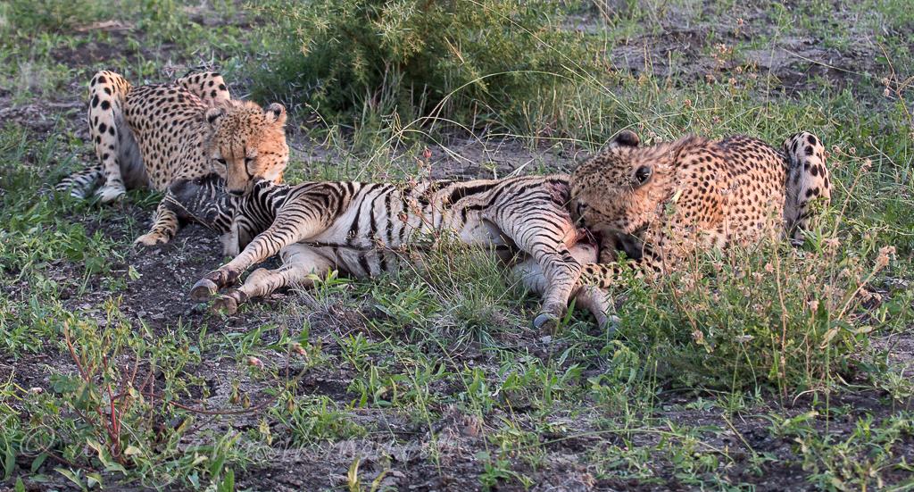 cheetahs kill zebra 2