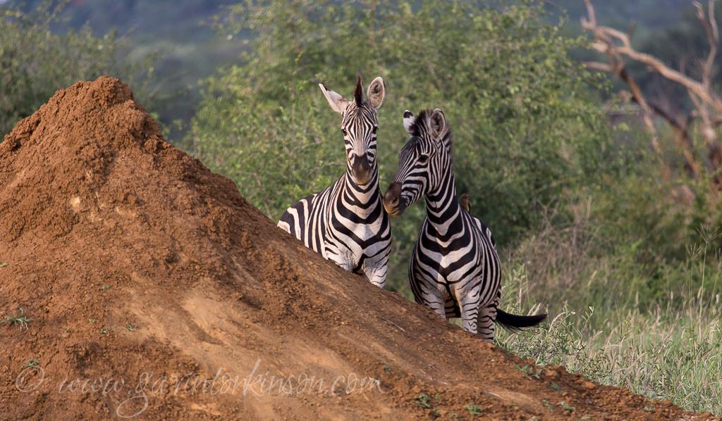 zebras at termite mound 1