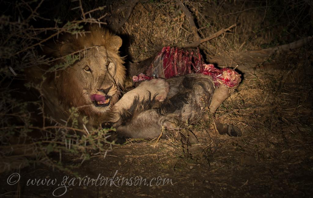 bafefo-kills-paralised-wildebeest-10