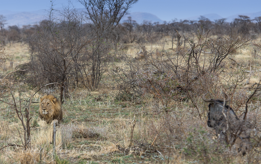 bafefo-kills-paralised-wildebeest-2