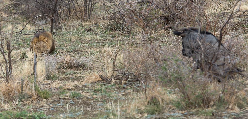 bafefo-kills-paralised-wildebeest-3