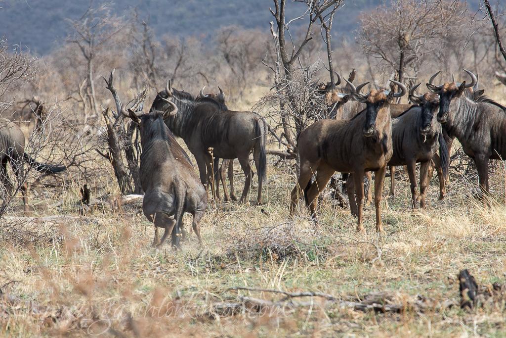 bafefo-kills-paralised-wildebeest-4