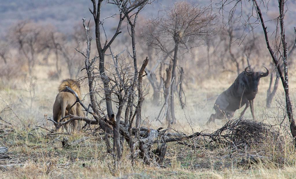 bafefo-kills-paralised-wildebeest-5