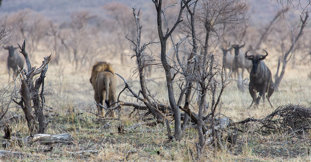 bafefo-kills-paralised-wildebeest-6