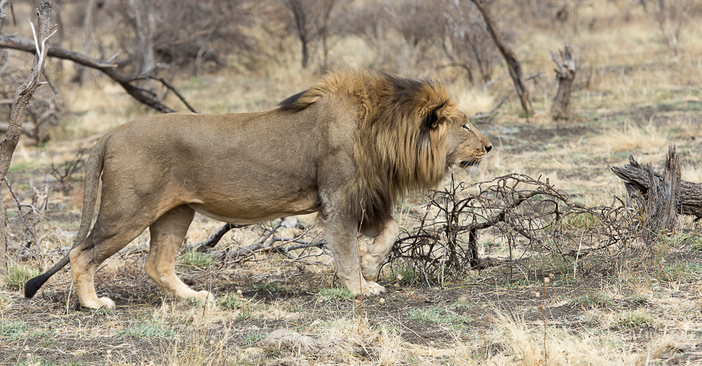 bafefo-kills-paralised-wildebeest-8