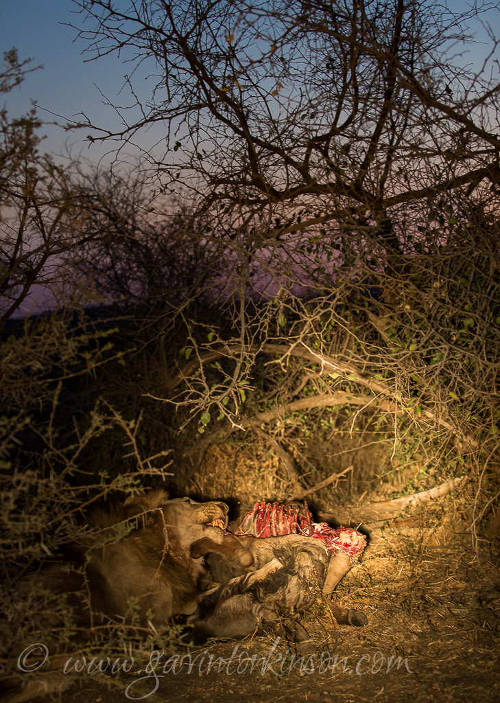 bafefo-kills-paralised-wildebeest-9