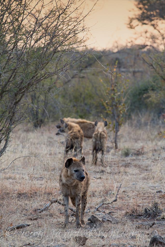 hyenas-at-b24-1