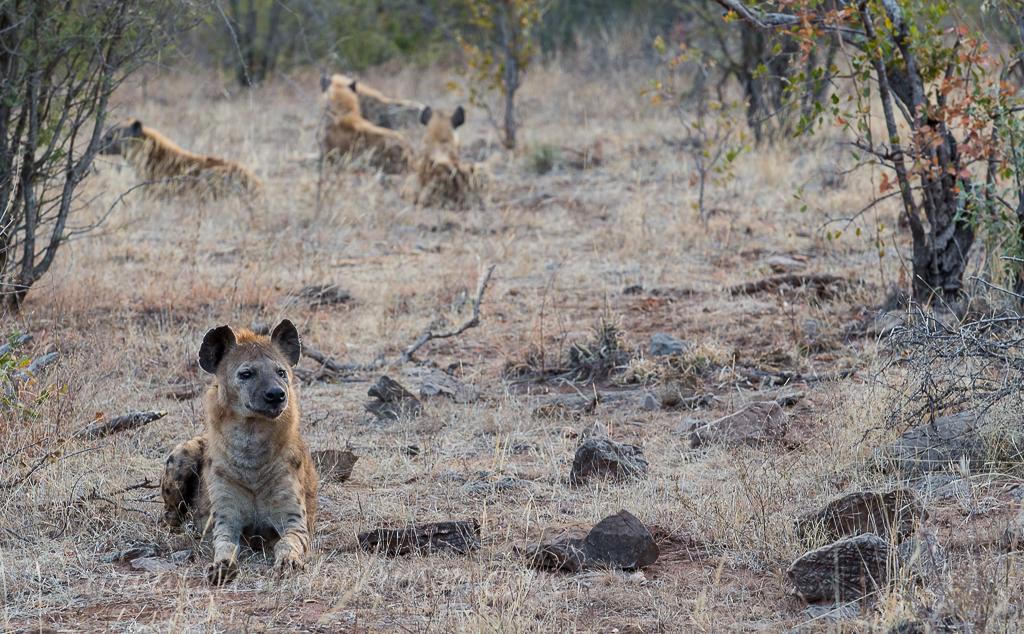 hyenas-at-b24-2