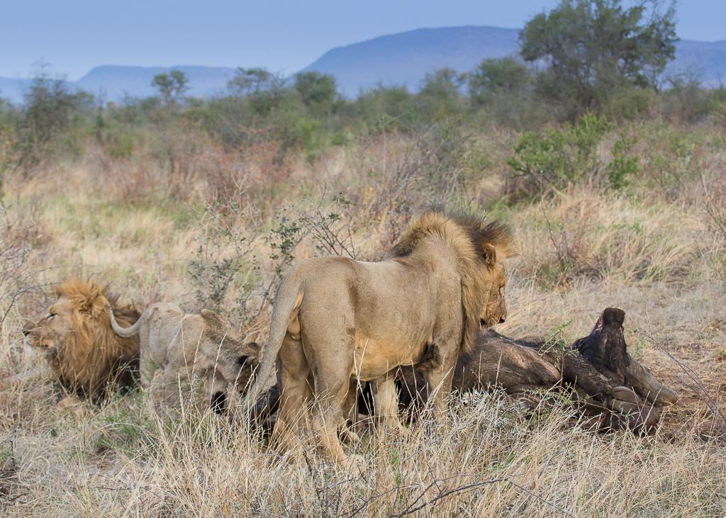 mica-pride-eat-buffalo-1