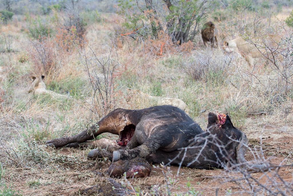 mica-pride-eat-buffalo-2