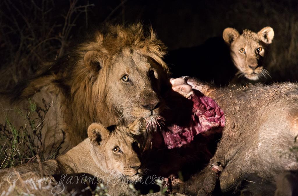 mica-pride-eat-buffalo-3