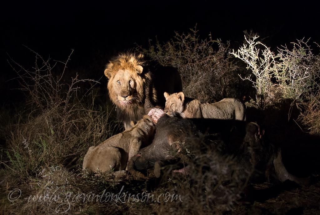 mica-pride-eat-buffalo-6