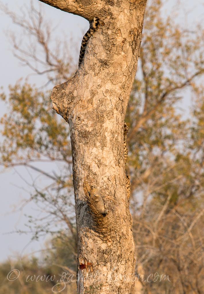 tsala-tree-climbing-4