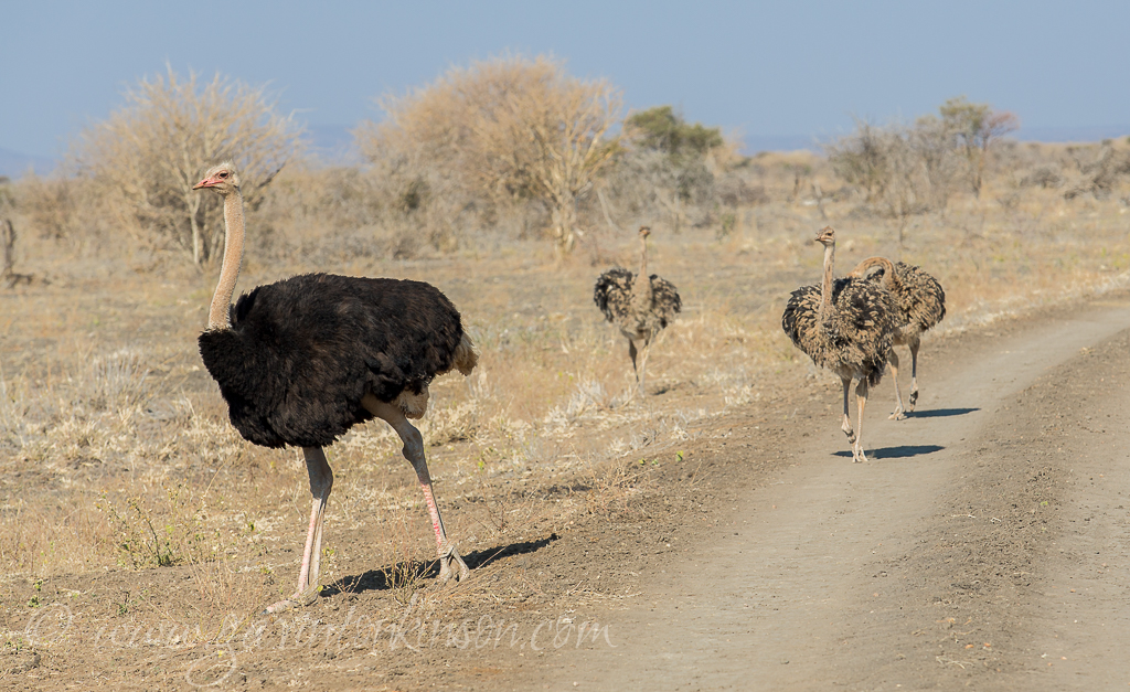 ostrich-on-plains-2
