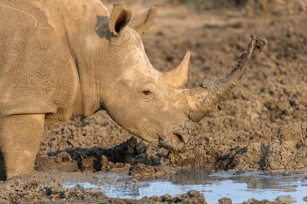 rhino-at-phakalane-pan-1