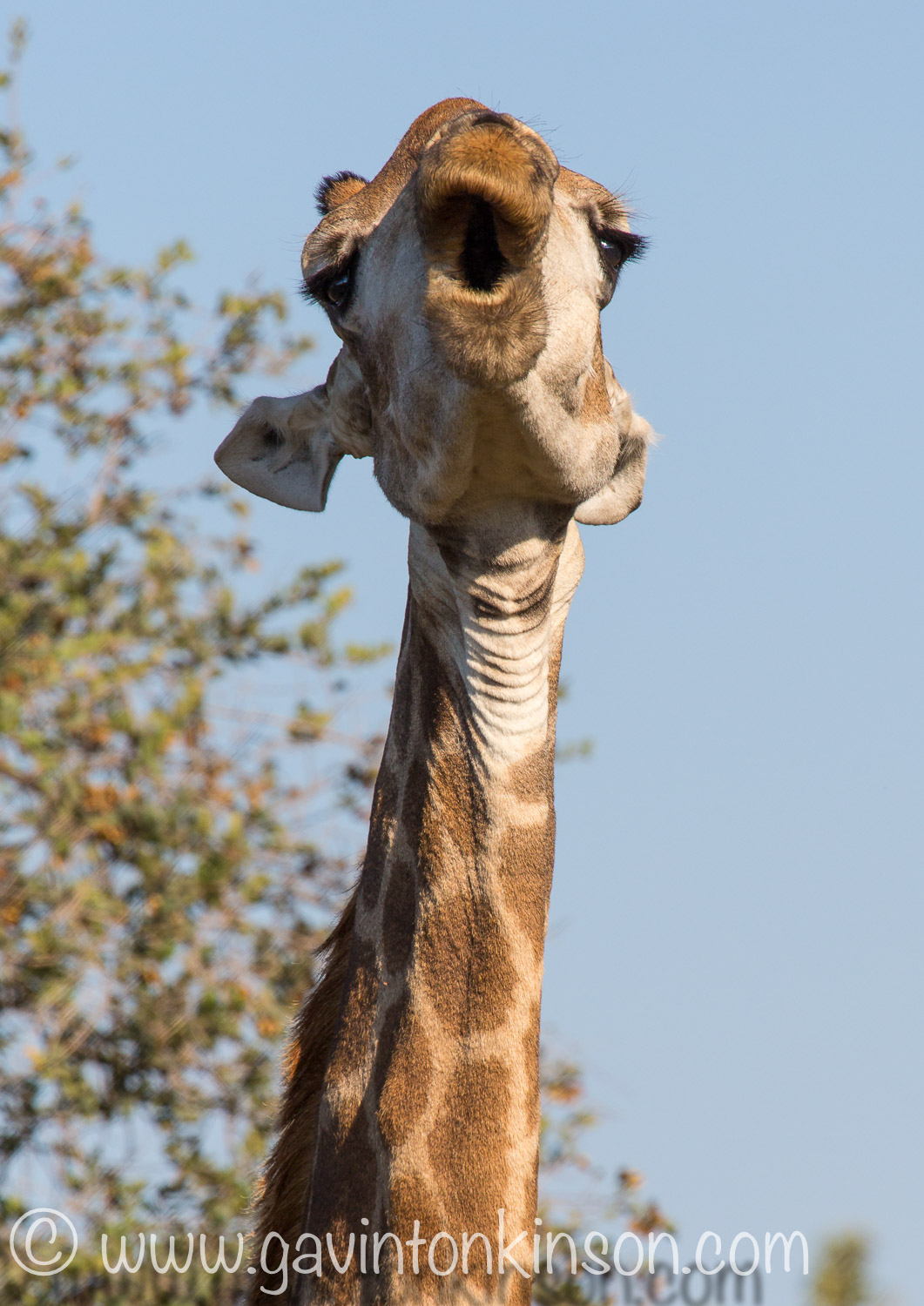 Giraffe eats bone 1