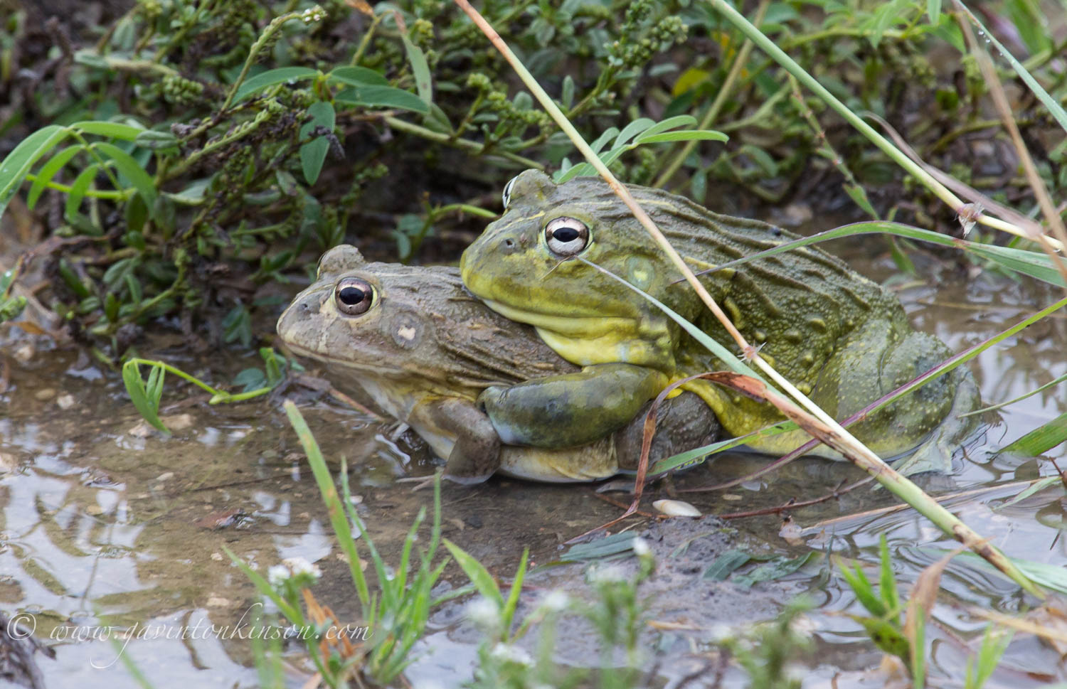 bullfrogs mating 1
