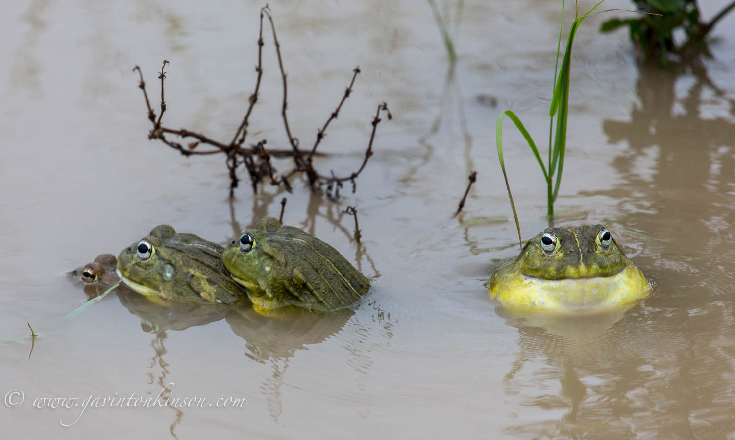 bullfrogs mating 2